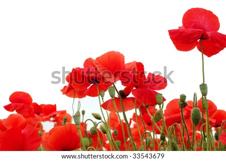 Poppy Field Isolated on white - stock photo