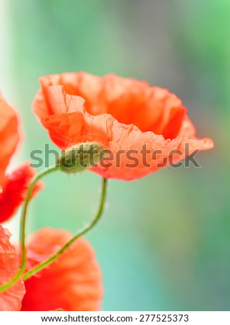 Poppy field with flowering red poppies - stock photo