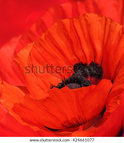 Poppy flower, big red bud - stock photo