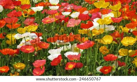 poppy flower field close up  - stock photo