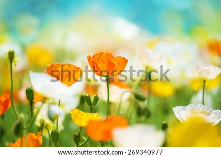 Poppy flower field in bright sunlight. Intentionally shot and processed in dreamy color. - stock photo