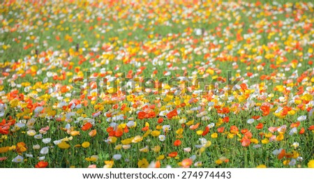 poppy flower field in spring - stock photo