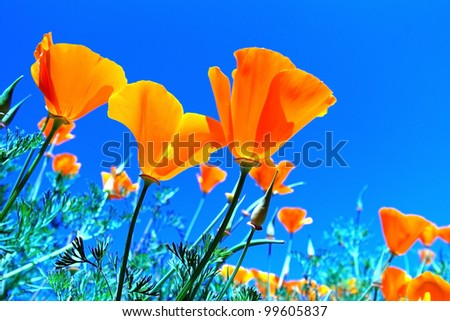 Poppy flower under the blue sky - stock photo