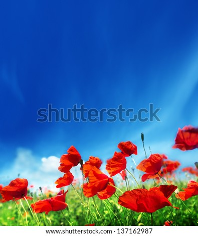 poppy flowers and sunny day - stock photo