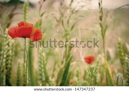 Poppy flowers close-up in a field - stock photo
