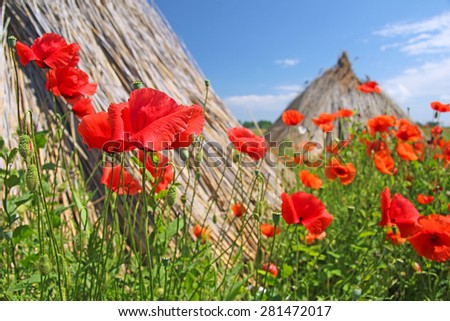 Poppy flowers dancing in the wind, in a background stacked cropped dry reed - stock photo