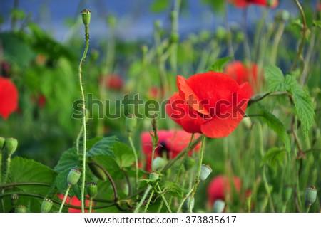 Poppy flowers in a grain field - stock photo