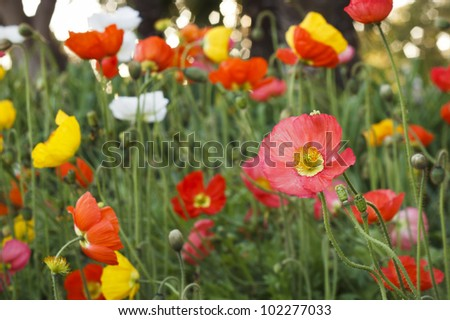 Poppy flowers in front of trees. - stock photo
