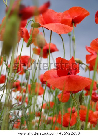 poppy flowers in the meadow, the blue sky background - stock photo