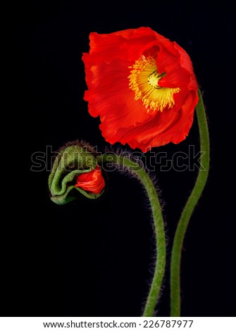 Poppy Flowers Isolated on black Background. - stock photo