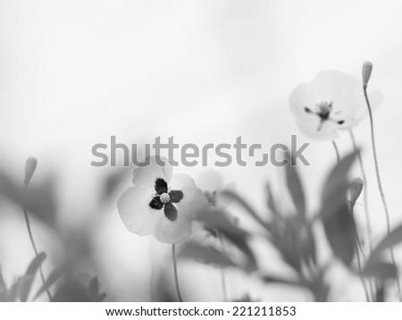 poppy flowers on field, black white monochrome - stock photo