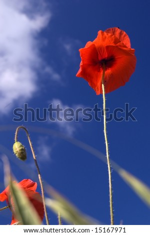 Poppy Stands Tall - stock photo