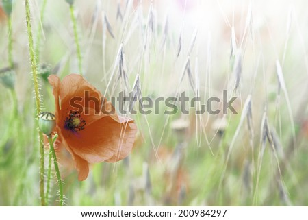 poppy wild field flower, Papaver rhoeas is a bright red wildflower these flowers grow in meadows and corn fields. Wildflowers background with copy space.  - stock photo