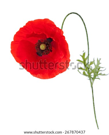 Poppy with pollen on the petals isolated on white background. - stock photo