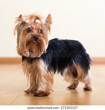 Popular  dog breed Yorkshire Terrier  - stock photo