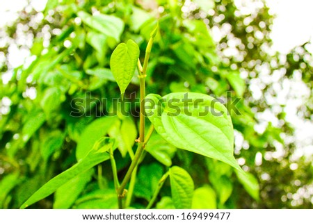 popular green betel leaf eating edible culture of southeast asia, thailand food - stock photo