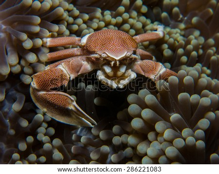 Porcelain crab. Macro shot. Tanzania, Pemba island. Diving. - stock photo