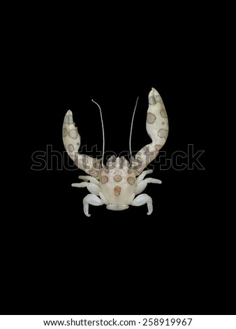 Porcelian Crab on black background  - stock photo