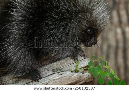 Porcupette (Erethizon dorsatum) Looks at Greenery - captive animal Baby Porcupine - stock photo