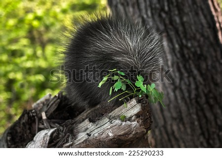Porcupette (Erethizon dorsatum) Nibbles on Greenery - captive animal - stock photo