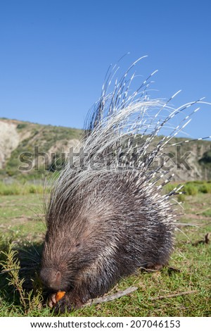 Porcupine eating - stock photo