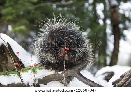 Porcupine eating red berries - stock photo