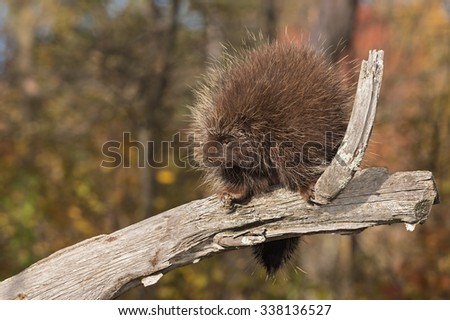 Porcupine (Erethizon dorsatum) Looks Left from Branch - captive animal - stock photo