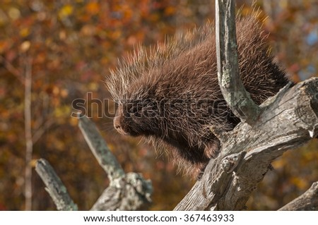 Porcupine (Erethizon dorsatum) Looks Out - captive animal - stock photo