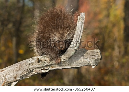 Porcupine (Erethizon dorsatum) on Branch - captive animal - stock photo