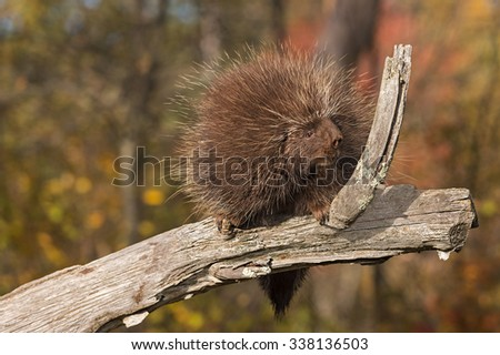 Porcupine (Erethizon dorsatum) Sits Looking Right on Branch - captive animal - stock photo