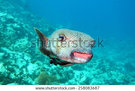 porcupine fish at the coral reef of Anemone Reef, Thailand - stock photo