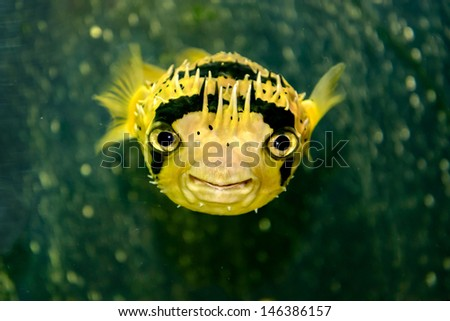 Porcupine fish is photographed underwater - stock photo
