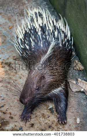 Porcupine in zoo. - stock photo