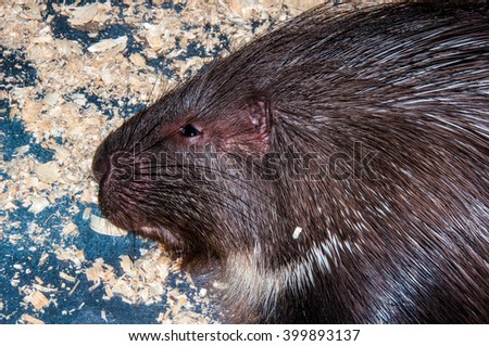 Porcupine is a large rodent, whose body is covered with short and long needles - stock photo
