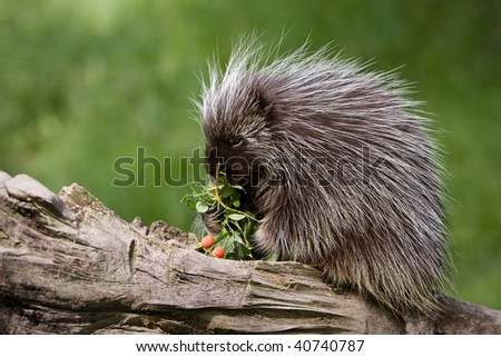 Porcupine on a log eating berries - stock photo