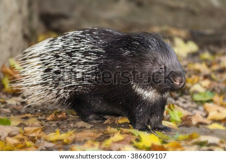 Porcupine Photo - stock photo