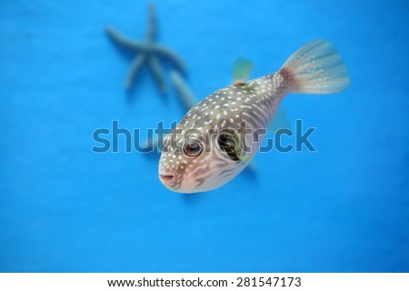 Porcupine Puffer - stock photo