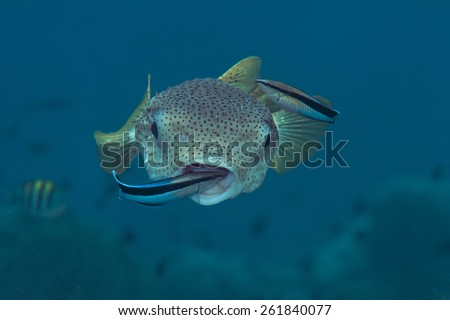 Porcupine Puffer-fish,  Cleaner-fish  - stock photo