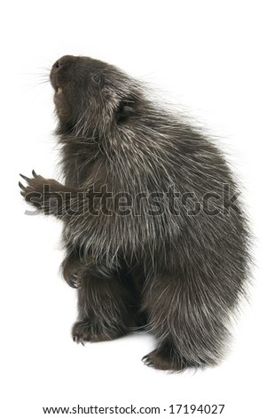 Porcupine reaching out isolated on a white background - stock photo
