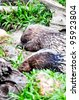 Porcupine  rodents with a coat of sharp spines ,Chordata - stock photo