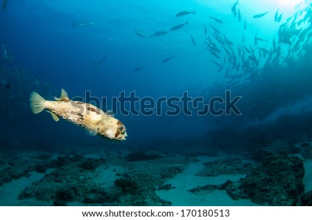 Porcupinefish, baja california. - stock photo