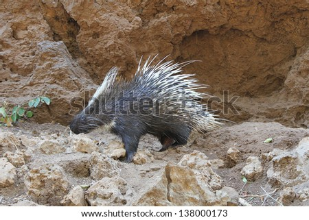 Porcupines are rodents with a coat of sharp spines,or quills,that defend and camouflage them from predators. - stock photo