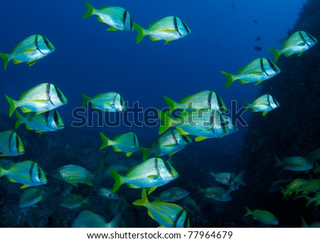 Porkfish on a shipwreck. - stock photo