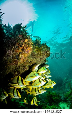 Porkfish school, Caribbean sea. - stock photo