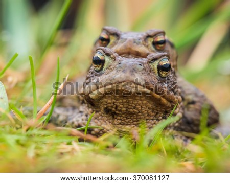 Portait of a pair of mating Common Toad (Bufo bufo) during spring migration - stock photo