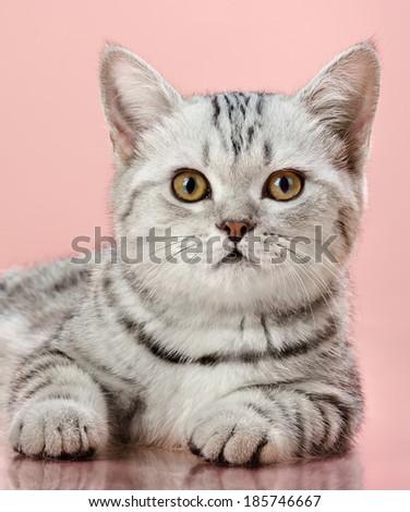 Portrai of a beautiful, striped kitten, on a pink  background. - stock photo