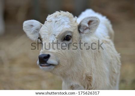 Portrait a pretty calf cow - stock photo