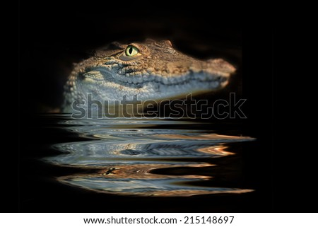 portrait  alligator on the black background - stock photo