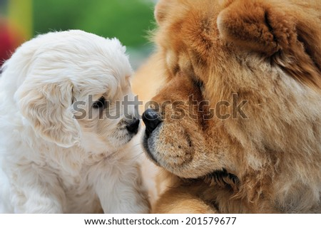 Portrait baby swiss shepherd and brown chow chow - stock photo