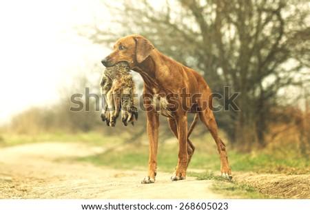 portrait beautiful rhodesian ridgeback dog puppy hold fox in summer field - stock photo